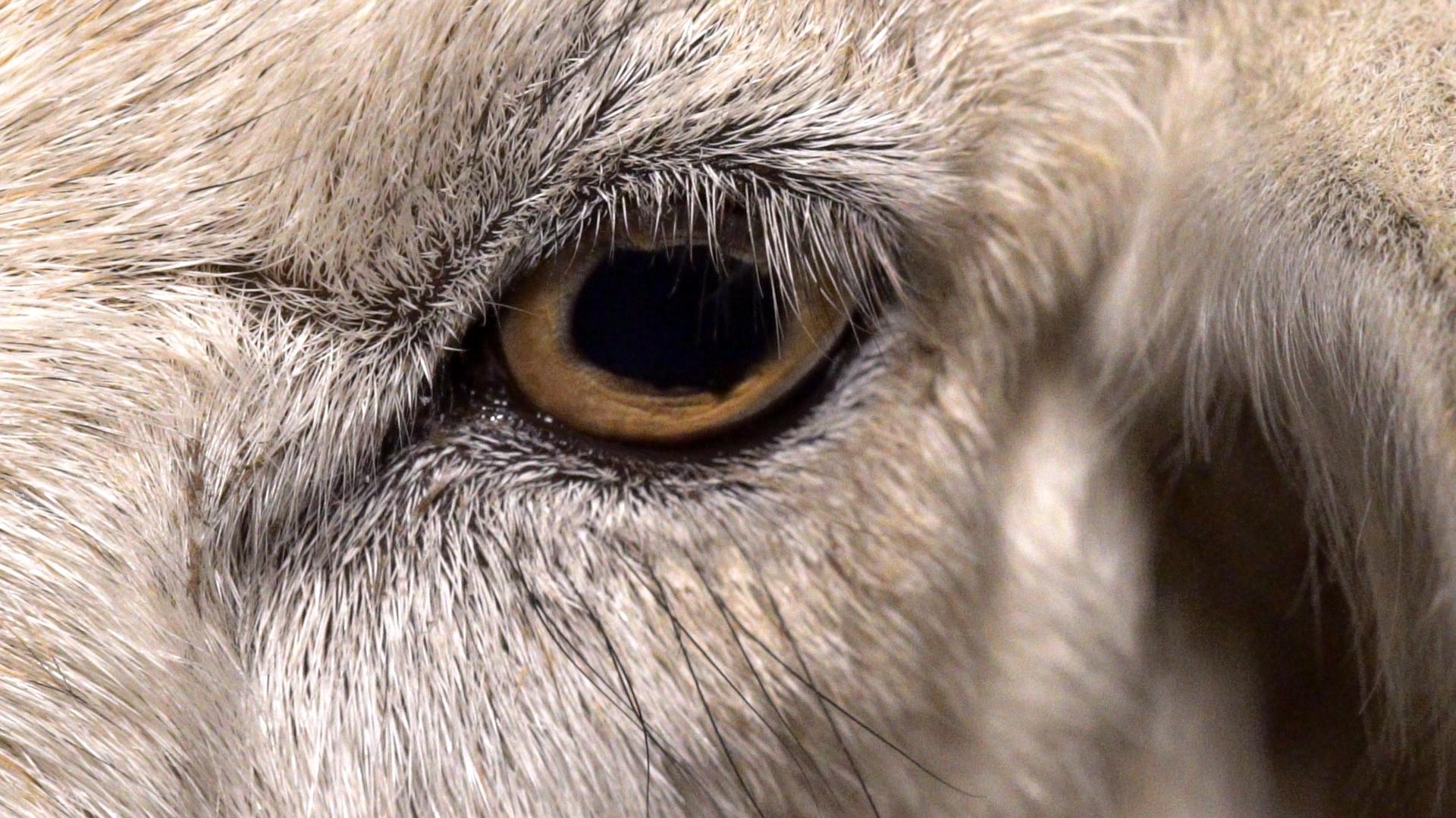 Das Bild einer Kuh im Film Dominion ihre Augen zeigen einen Blick in ihre leidende Seele.